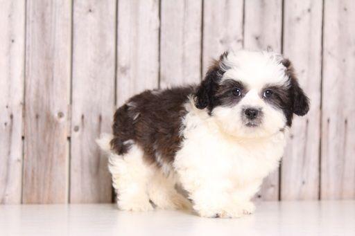 Zuchon puppy for sale in MOUNT VERNON, OH. ADN-30325 on PuppyFinder.com Gender: Male. Age: 9 Weeks Old