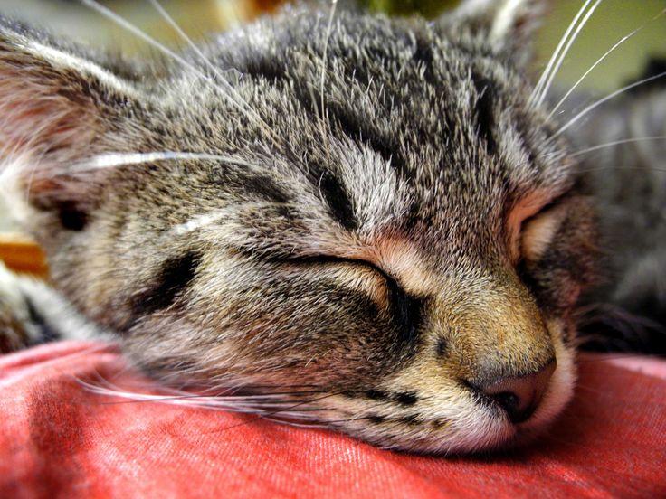 #cat #head #kitten #sleeping #tomcat