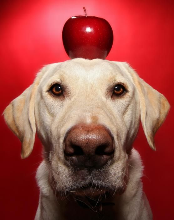 Winston the dog - Winston with an apple on his head during one of his portraits. (Scott Cromwell/Caters News)