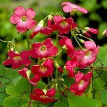 Pink Shamrock Flower Bulbs, Oxalis deppei, Shamrock