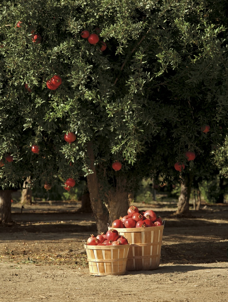 Picked perfect at the POM orchards. www.pomwonderful.com
