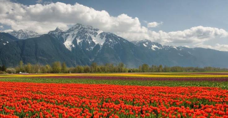 Beautiful tulip fields, love them!