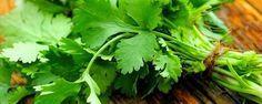 Como plantar coentro - Usado como tempero ou condimento, não importa, o seu aroma é inconfundível! Coentro é uma planta glabra anual (que não apresenta pelos, tricomas ou estruturas similares na superfície externa), da família Apiaceae, de flores róseasou alvas, pequenas e aromáticas, cujo fruto é diaquênio e a folh... - http://www.assinaturaeletronica.com.br/ecoblog/2016/11/04/como-plantar-coentro/
