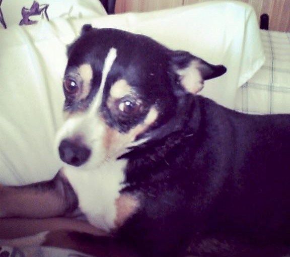Lost Dog Braham Jack Russell Terrier Chihuahua Mix Female Shy Do Not Chase Date Lost 06 22 2019 Dog S Name Cherry Breed Of Dog Losing A Dog Dogs Dog Ages