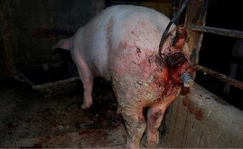 In all honesty I could hardly look at this to be able to pin it.  This is NOT a one off image, abuse and neglect is common place in the farming of sentient beings. If YOU eat flesh then you are to blame, YOU create the demand.   Slaughter houses are places of death and destruction, abuse is rife by twisted callous people who KILL for a living, just because YOU personally do not kill these animals does not mean you are not guilty.  Paying someone else to KILL the flesh you eat is wrong.