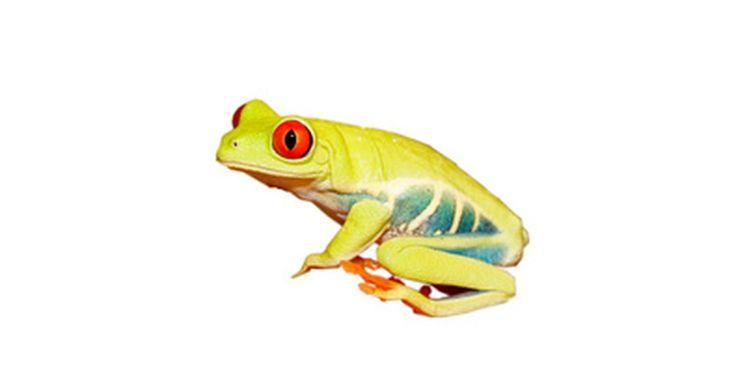 ¿Qué comen los renacuajos?. Los renacuajos son anfibios inmaduros que viven por completo en el agua. Al crecer, se convierten en ranas, tritones, salamandras o sapos, desarrollando patas y pulmones y emergiendo del agua.