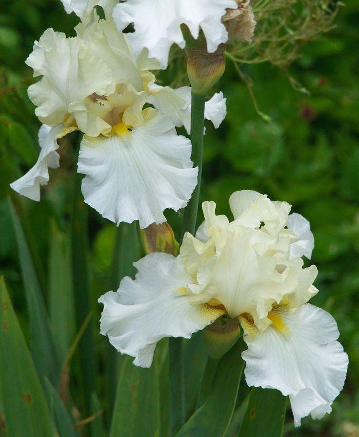 17 best images about iris goddess of the rainbow on - Iris germanica ...