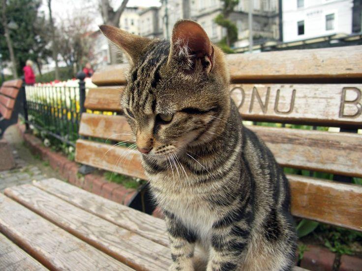 Isztambul, macska