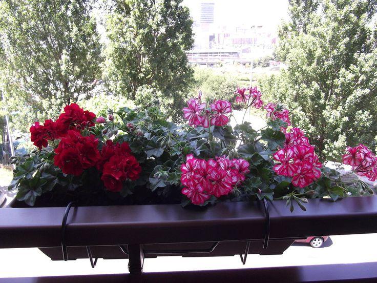 El Geranio y sus cuidados | Cuidar de tus plantas es facilisimo.com