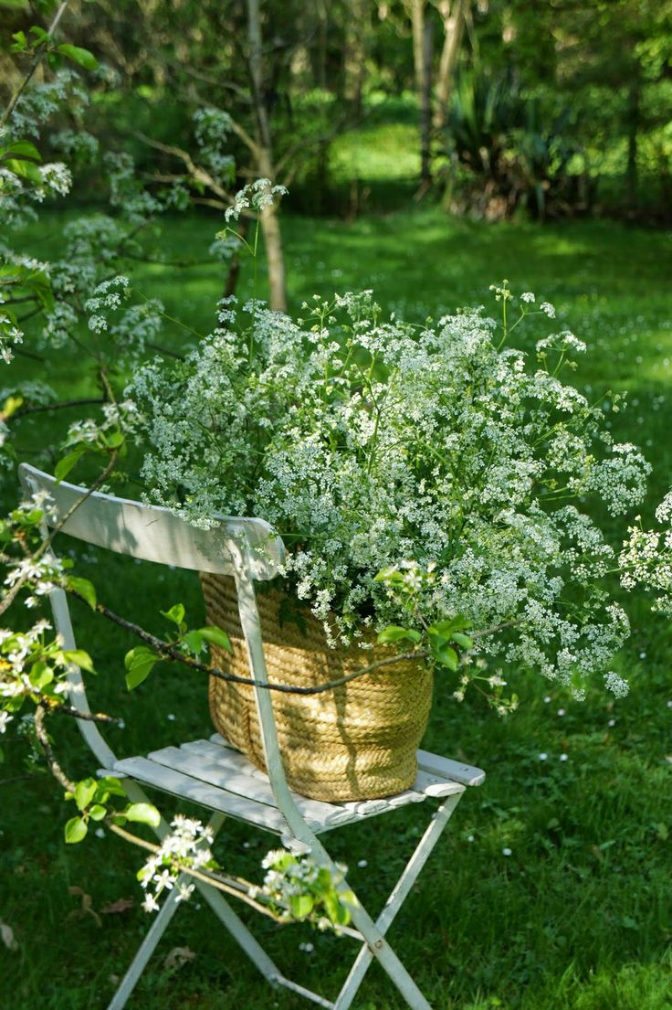 queen anne's lace - seeds available here…
