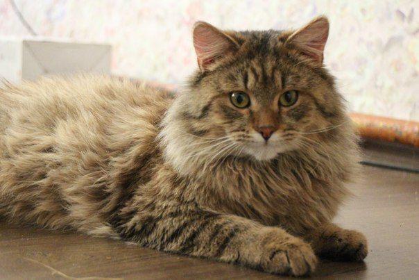Сибирский котик Гоша