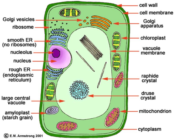 11 best pictures images on pinterest animal cell drawing plant cell ccuart Images