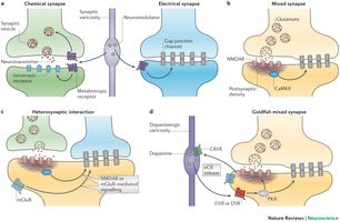 Types of interactions between electrical and chemical synapses in the adult nervous system.