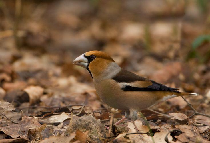 Appelvink – Hawfinch | Birdimage