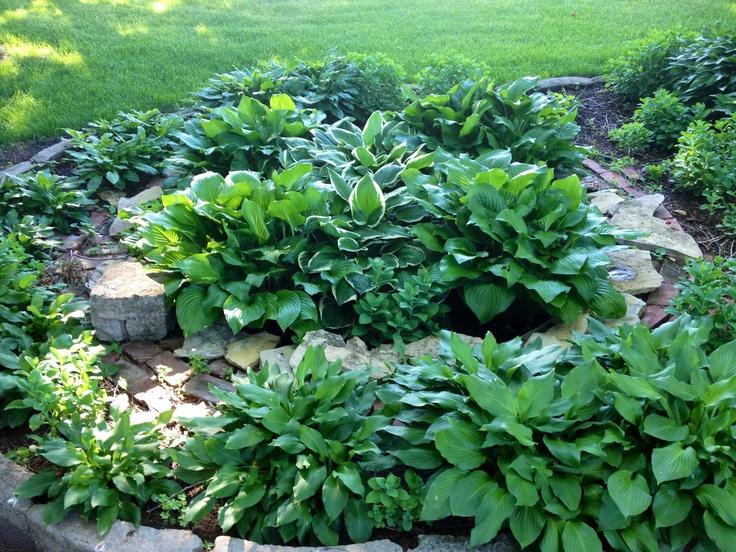Hosta garden. Beautiful.