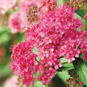 17 best images about spir e spiraea spirea for Tall flowering shrubs