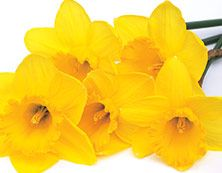 Narsissi Kukkia Raikkaita kukkaisvivahteita, kuin vastapoimittu kukkakimppu. Tuo puutarha kotiisi.