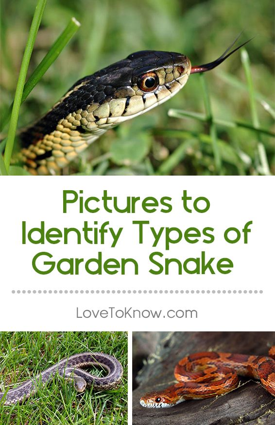 19 best images about snakes stingers in ok venomous on pinterest gardens garden pests and