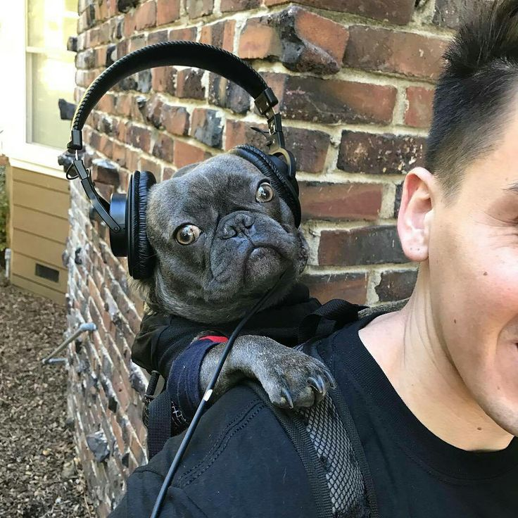 """You would not BELIEVE the music my Dad listens too!"", shocked French Bulldog with Headphones"