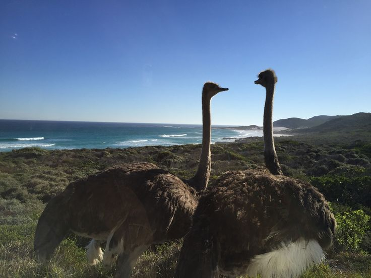 In th Cape of Good Hop Nature Reserve, the wildlife is also present. This two ostriches didn't seem distrubed by our presence as they were walking along the road.  It was a very surprising and fascinating encounter!