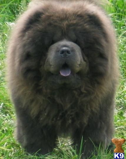 a Chow Chow of my own...preferably one like Maddie not like Calli ;) haha