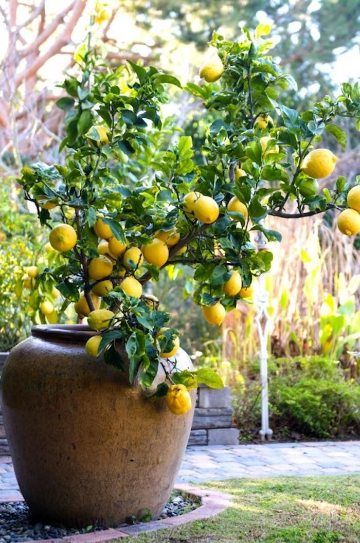 outdoor potted eureka lemon citrus tree via Gardenista