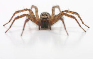 Edderkopper er svære at undgå i hjemmet- men du kan godt holde bestanden nede.