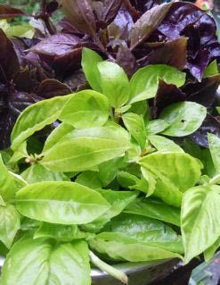 Never Waste Fresh Basil Again - Preserving Basil. Not really canning but several ways to use and preserve basil. I've done the basil oil and basil salt.