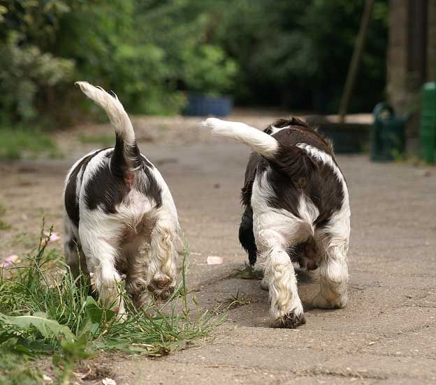 Cute! English Springer spaniel pups just love those little wagging tails