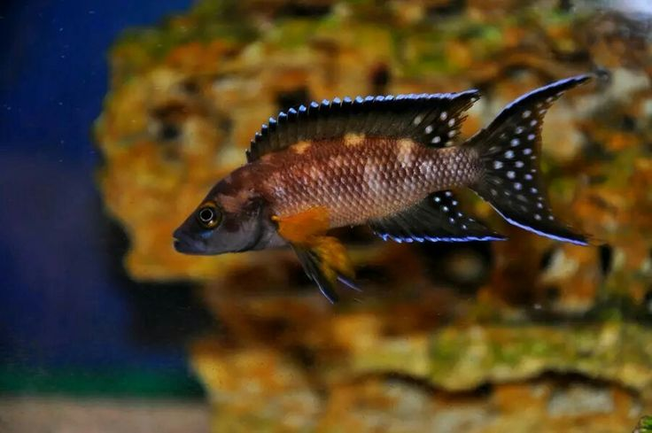 17 best images about african cichlids on pinterest for Lake tanganyika fish