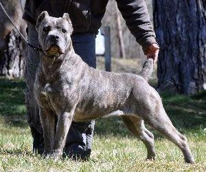 Brindle Italian Mastiff | AKC Champion Alcor's Mae West, Blue Brindle Cane Corso Mastiff