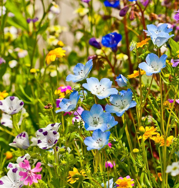Short Meadow Blend Wildflower Seeds Ingredients (With