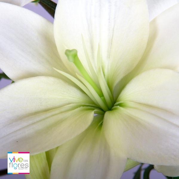 La pureza de los lirios blancos trae paz y descanso a cualquier ambiente. Empieza a compartir emociones y enviar sonrisas con Vivelasflores.com
