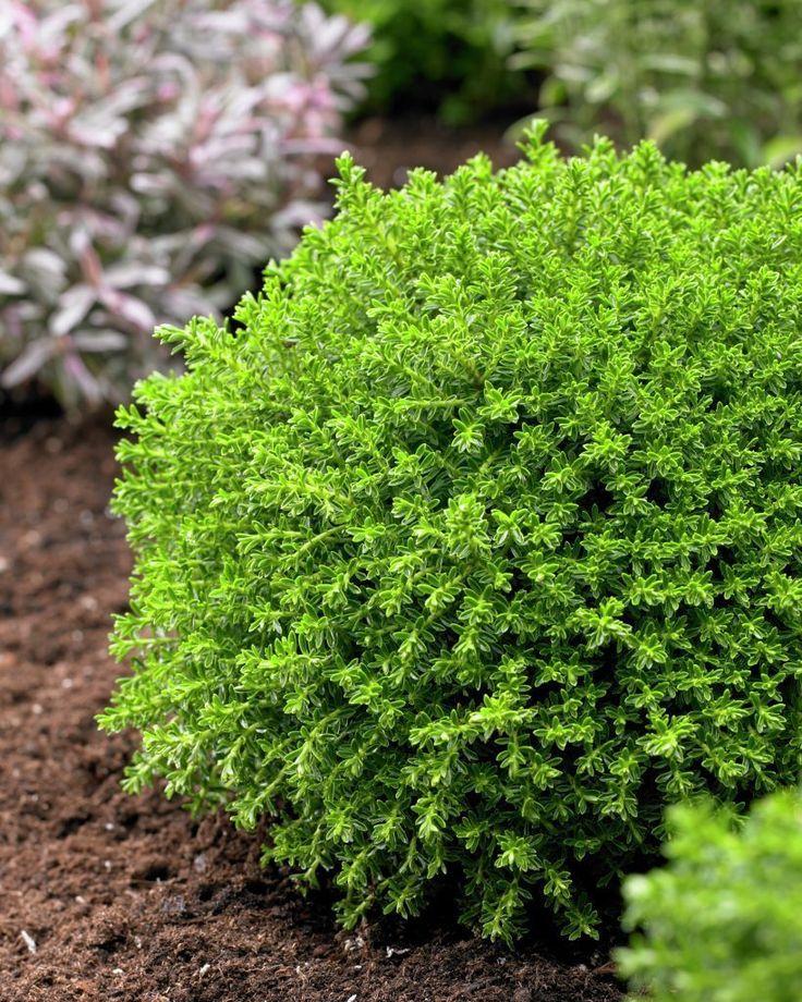 52 best images about garden plan frontyard on pinterest for Hebe pianta