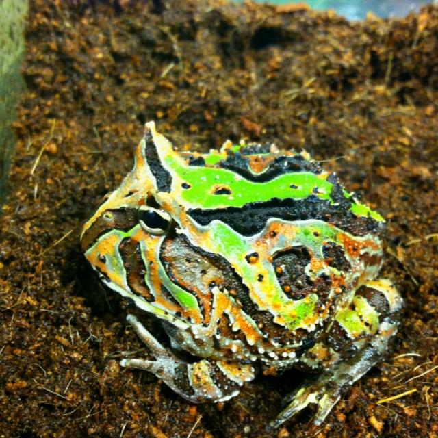 Fantasy pacman frog - photo#12