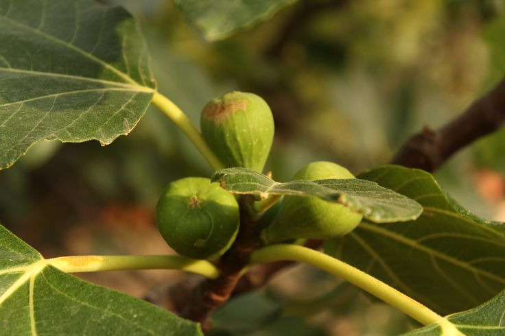 Figs as the sun goes down