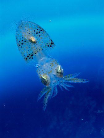 octopus, squid, calamaro, polpo, sea, mare, creature marine, marine creatures, sea creatures
