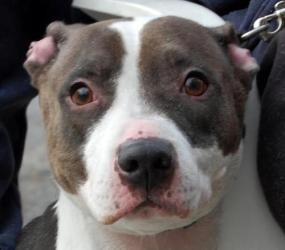 China is an adoptable Pit Bull Terrier Dog in Brooklyn, NY. Please give China, our 6 year old Pit Bull Terrier mix, a chance to be your forever companion. If you find challenging dogs rewarding, China...AT SEAN CASEY ANMAL RESCUE, BROOKLYN NY