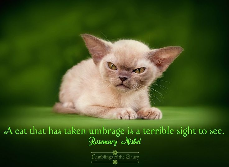 A cat that has taken umbrage is a terrible sight to see #cats #umbrage #grumpy #humour