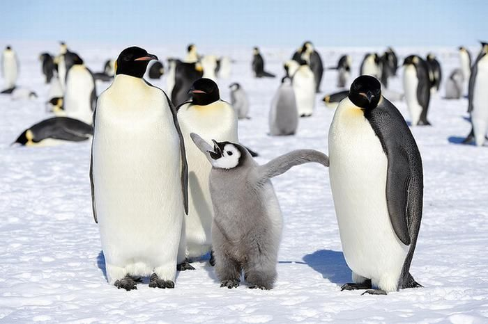 An emperor penguin family. Penguins are very family oriented birds.