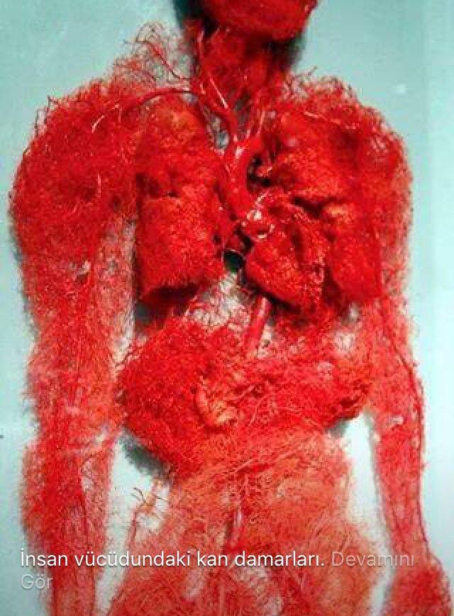 İnsan vücudundaki kan damarları..