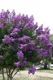 Purple Tower Crape Myrtle
