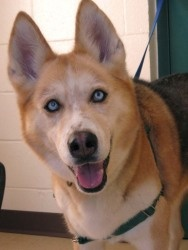 Maddy Madison is an adoptable Siberian Husky Dog in Waukesha, WI. Hi everyone, My name is Maddie Madison and YES, I have 2 names.  I am a 6 yr old Siberian Husky mix that is absolutely BEAUTIFUL.  Tha...