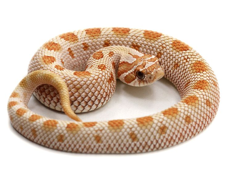 Toffeeconda Western hognose snake. My own hognose, Lemmy is 100% het for the toffee gene so looking into breeding in the future.