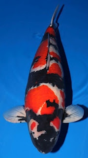 930 best images about koi on pinterest japanese koi for Champion koi fish