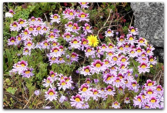 Borboletinha, Orquídea-de-pobre – Schizanthus pinnatus   A borboletinha é uma planta herbácea florífera e anual, que se destaca por suas graciosas e exóticas flores que lembram borboletas ou orquídeas.   Ela é originária de vales de montanhas costeiras no Chile, onde cresce sob baixas e médias altitudes (de 0 a 2000 metros), em condições de pouca umidade e clima agradável.   http://sergiozeiger.tumblr.com/post/117509769973/borboletinha-orquidea-de-pobre-schizanthus  O florescimento ocorre…