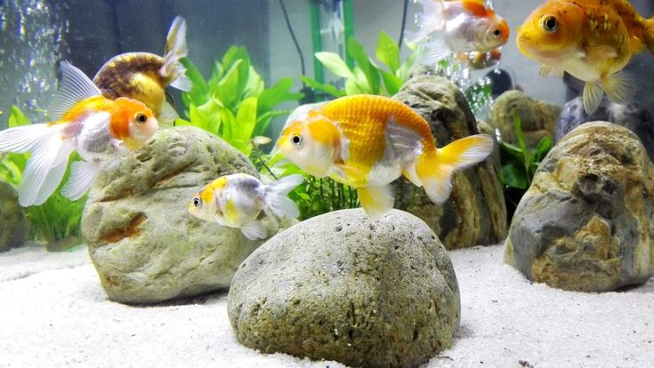 25 best goldfish tank ideas on pinterest for Clear water fish tank