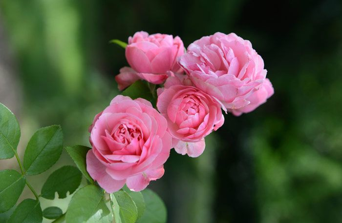 Rosor sträcker sig långt bortom 2000 f Kr. Rosors betydelse är förknippat med erotisk kärlek, men även med Jesu blod. Detta och mycket mer kan du läsa och lära om vår älskade ros.