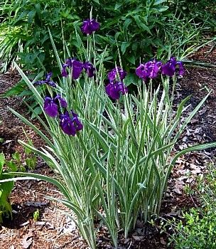 Variegated Japanese Iris Plant - AGM WINNER - Ensata - Gallon Pot ** Learn more by visiting the image link.