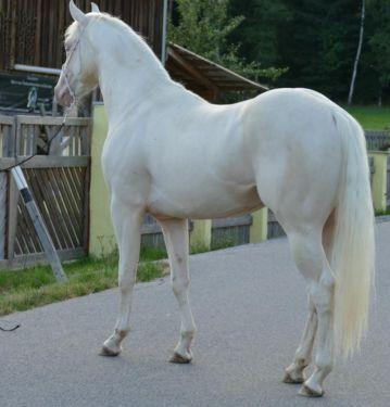 Quater Horse Hengst in aussergewöhnlicher Farbe in Bayern - Viechtach | Großpferde günstig kaufen | eBay Kleinanzeigen